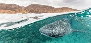 whale sharks Djibouti mountains