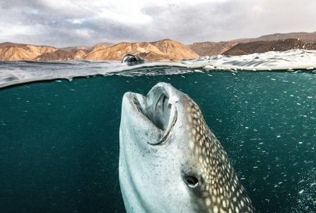 whale sharks Djibouti feeding