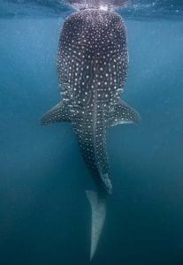 whale sharks Djibouti