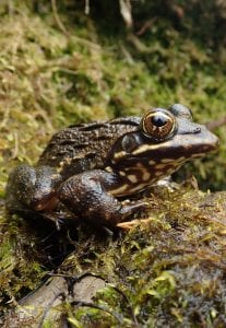 Cape River Threatened Amphibian Programme Dr Jeanne Tarrant Endangered Wildlife Trust
