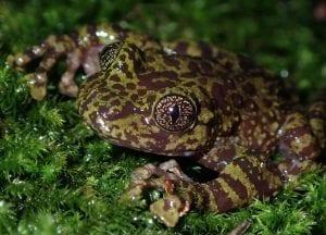 Table Mountain Ghost Frog Threatened Amphibian Programme Dr Jeanne Tarrant Endangered Wildlife Trust