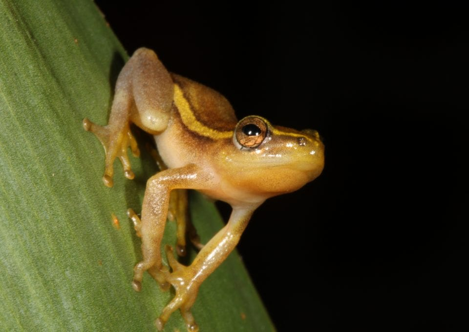 Pickersgill Reed Frog Threatened Amphibian Programme Dr Jeanne Tarrant Endangered Wildlife Trust