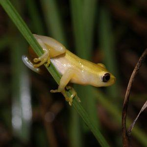 Pickersgill's Reed Frog Threatened Amphibian Programme Dr Jeanne Tarrant Endangered Wildlife Trust