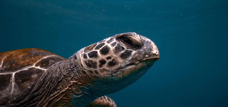 Julian Rocks, turtle close-up, Jono Allen