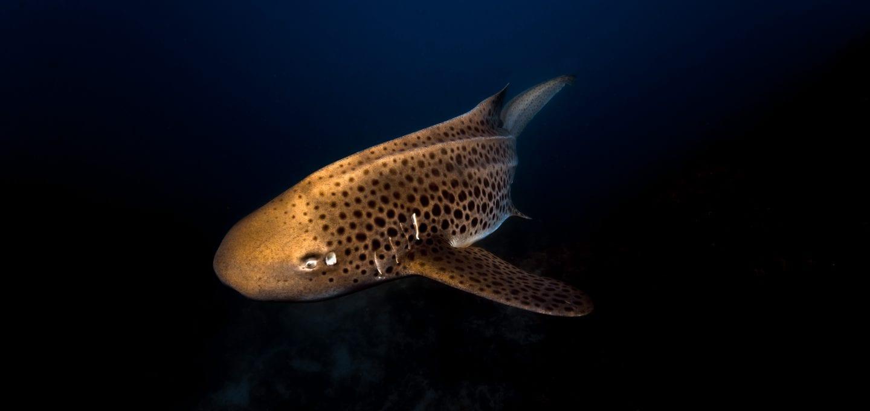 Julian Rocks, leopard shark, Jono Allen