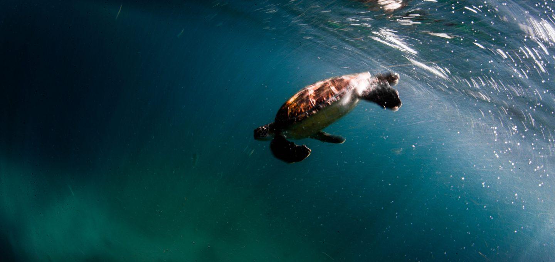 Julian Rocks, turtle near surface, Jono Allen,