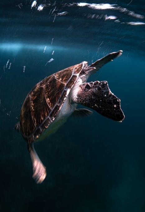 Julian Rocks, turtle descending, Jono Allen