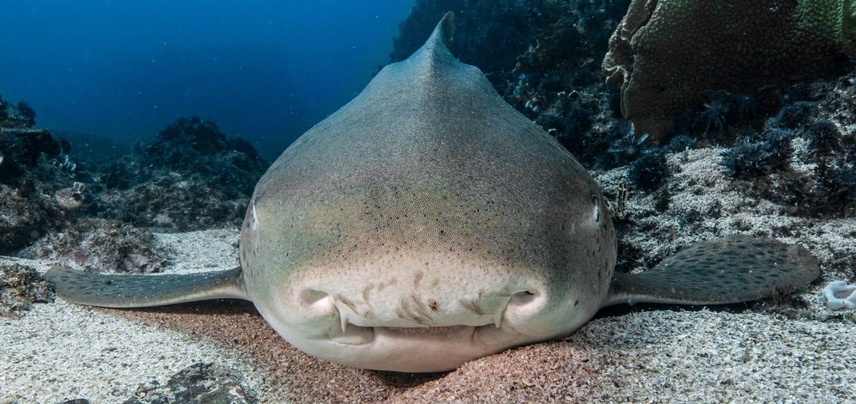 leopard sharks byron bay sundive nose