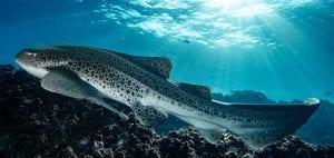 leopard sharks byron bay sundive australia