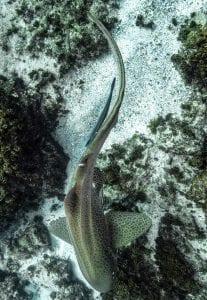leopard sharks byron bay sundive swimming