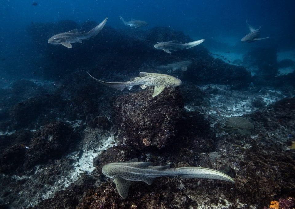 leopard sharks byron bay sundive group