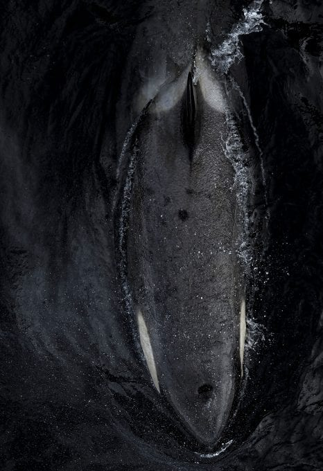 Angel Grimaldi Antarctica Arctic Polar Guide killer whale