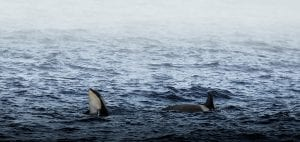 Angel Grimaldi Antarctica Arctic Polar Guide orca