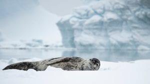 Angel Grimaldi Polar Guide Antarctica Arctic leopard seal