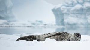 Angel Grimaldi Polar Guide leopard seal