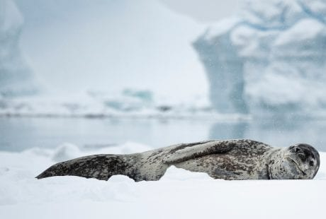 Angel Grimaldi Polar Guide leopard seal