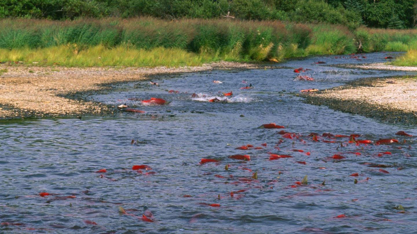 Alaska sockeye salmon run