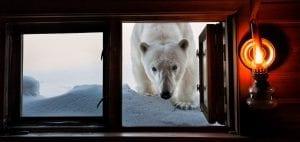 Paul Nicklen Sealegacy polar bear