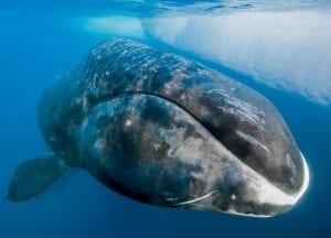 Paul Nicklen Sealegacy bowhead whale