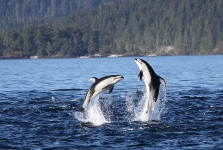 Pacific white-sided dolphins British Columbia Canada