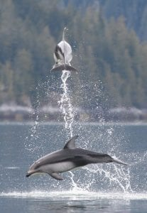 Pacific white-sided dolphins British Columbia Canada leap