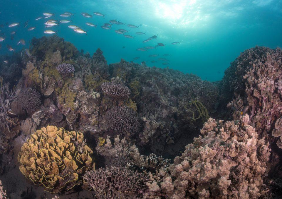 The Great Sea Reef Fiji WWF corals