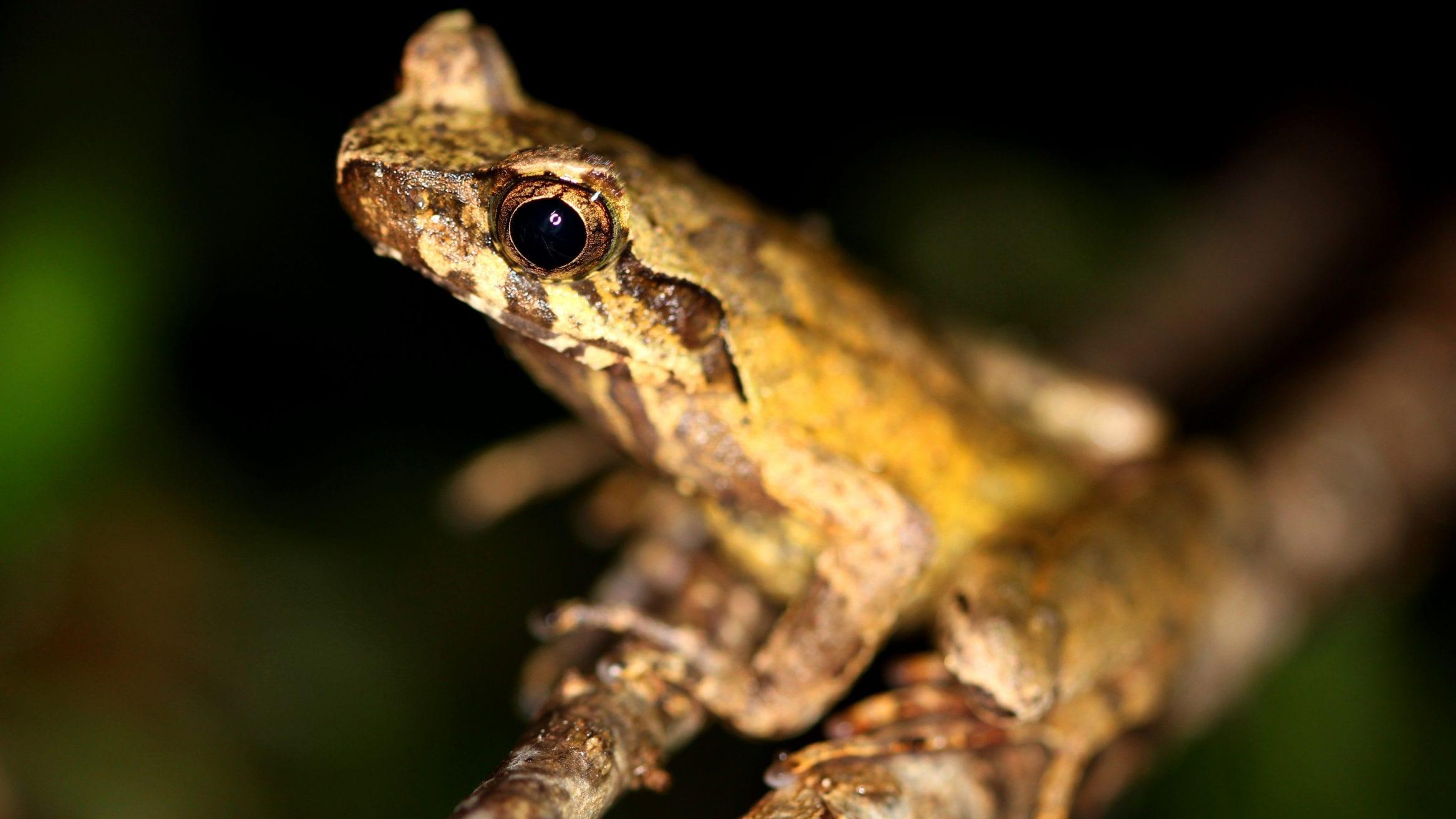 Asian horned frogs