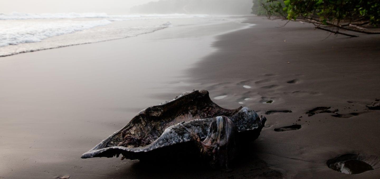 Leatherback turtle project shell poachers