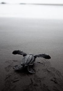 East Pacific Leatherback Turtle