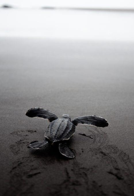 East Pacific Leatherback Turtle