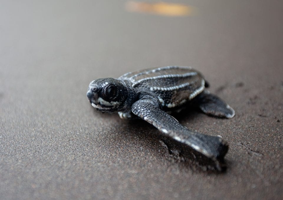 Leatherback turtle project hatchling