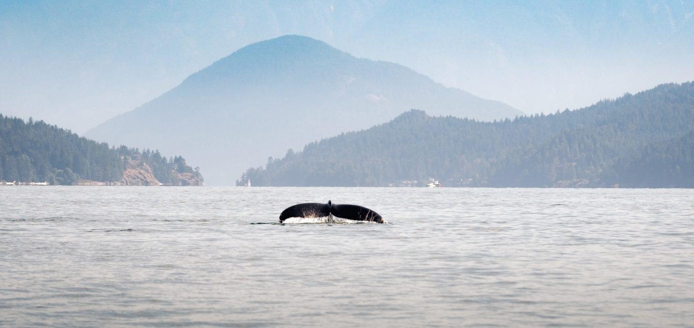 Vancouver sea otters humpback