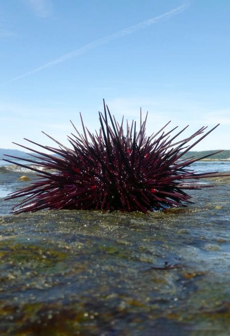 Vancouver sea otters red urchin
