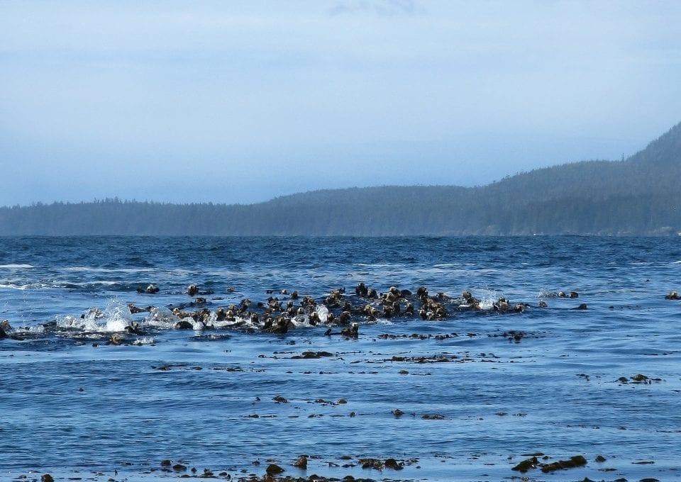 Vancouver sea otters raft