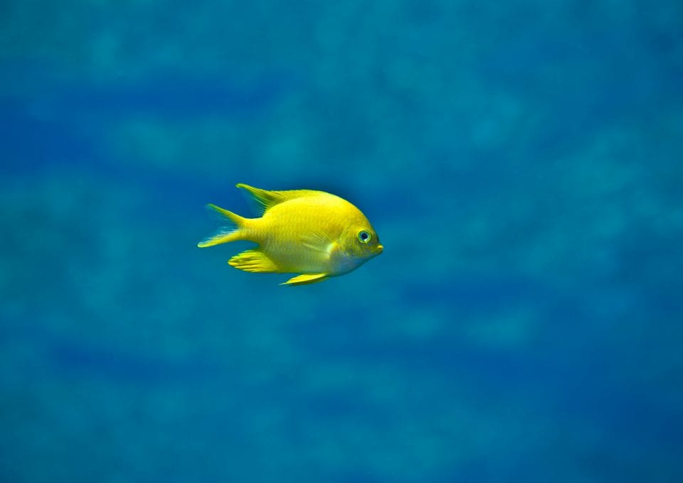 yellow fish coral triangle chris leidy underwater photographer