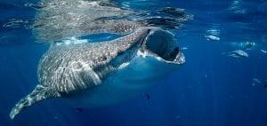 American Crocodiles Banco Cinchorro Mexico whale shark