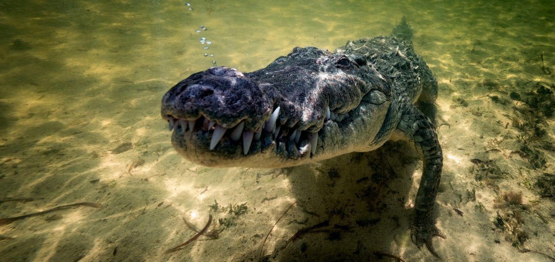 American Crocodiles Banco Cinchorro Mexico gambit
