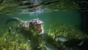 American Crocodiles Banco Cinchorro Mexico underwater