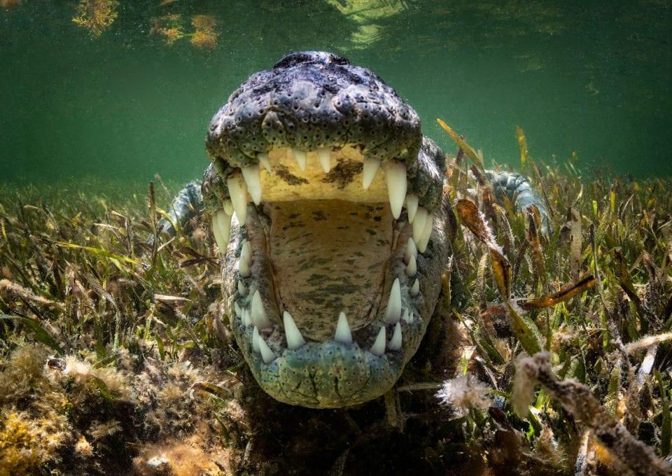 American Crocodiles Banco Cinchorro Mexico teeth