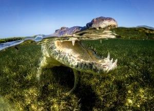 American Crocodiles Banco Cinchorro Mexico split shot