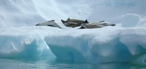 crabeater seals antarctica research
