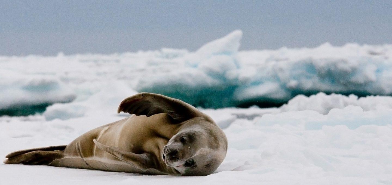 crabeater seals antarctica water