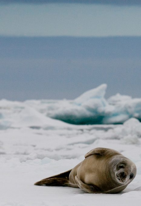 crabeater seals antarctica sea ice