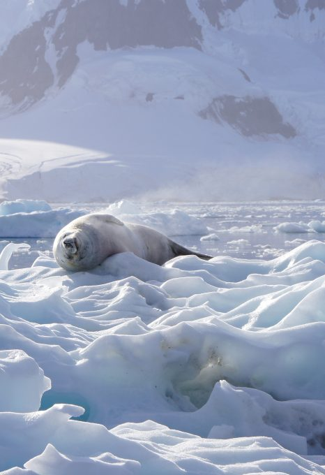 crabeater seals antarctica on the ice