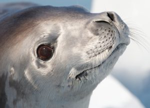 crabeater seals antarctica eye