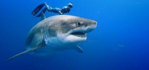 shark net shark culling Australia white shark
