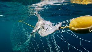 shark net shark culling Australia hammerhead