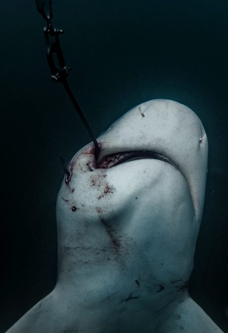 shark net shark culling Australia hooked