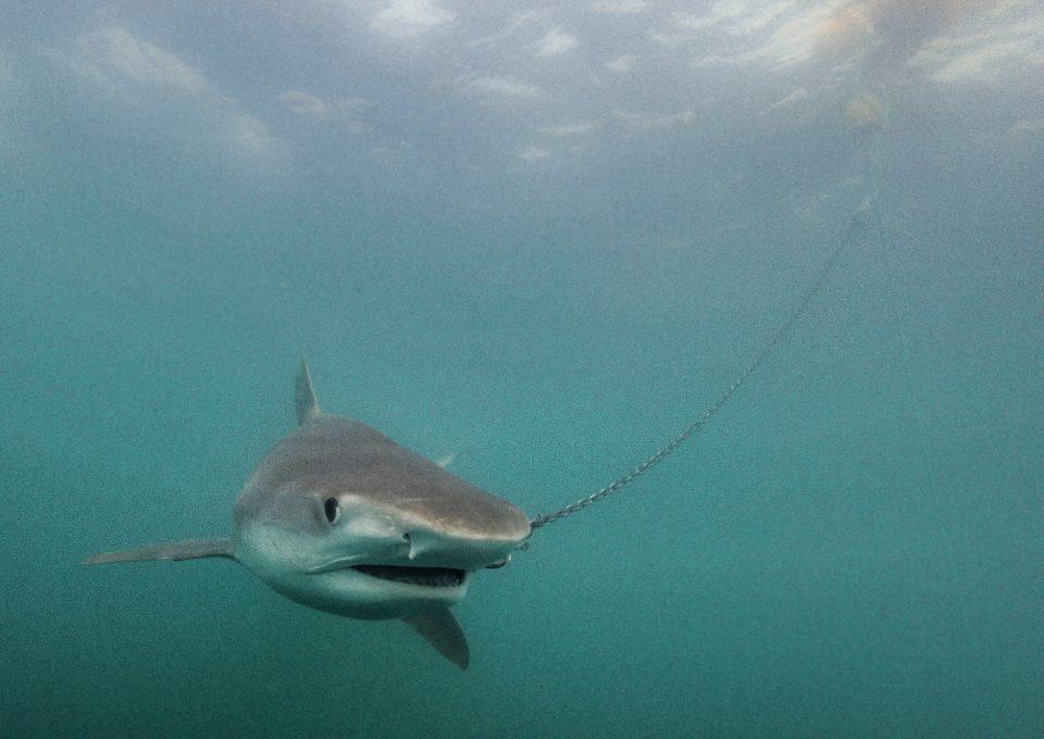 shark net shark culling Australia drumlie
