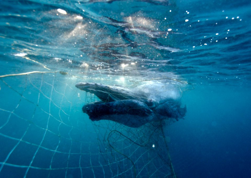 shark net shark culling Australia humpback